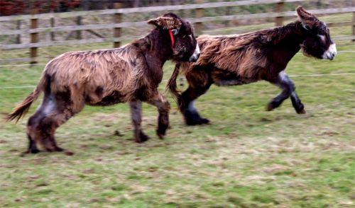 Poitou Donkeys Playing