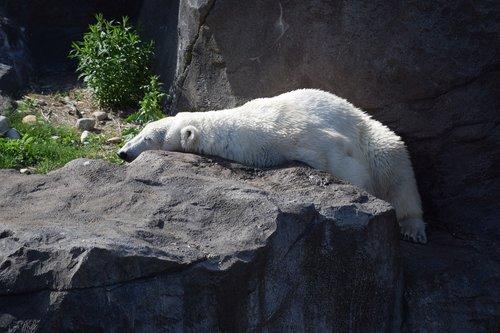 polar  bear  polarbär