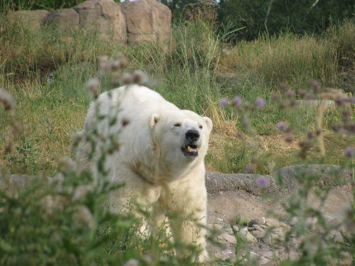 polar bear roar growl