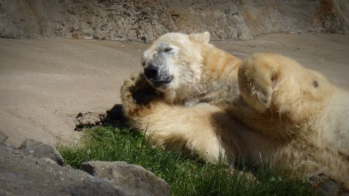 polar bear sleep sun