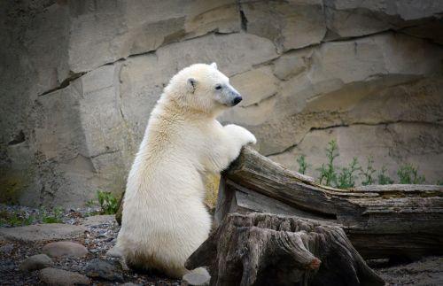 polar bear young polar bear white
