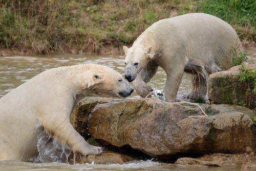 polar bear big bear white