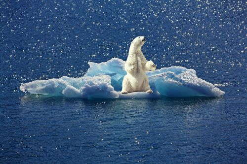 polar bear iceberg ice floe