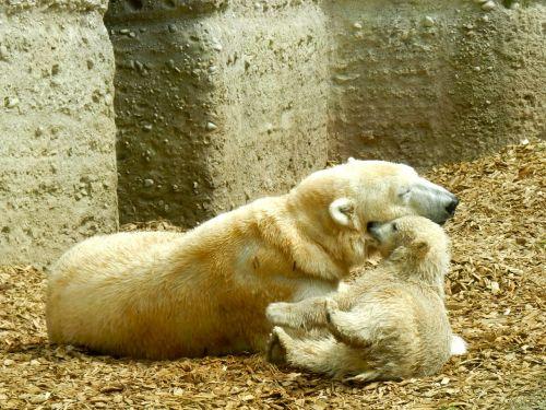 polar bear polar bear cub polar bear baby