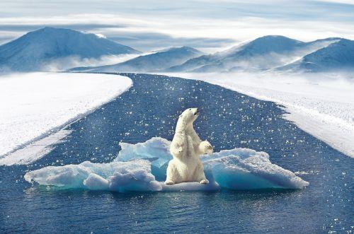 polar bear climate change bear