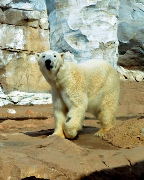polar bear ursus animal