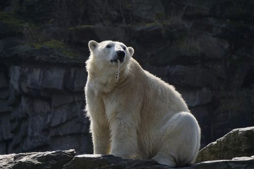 polar bear mammal animal world