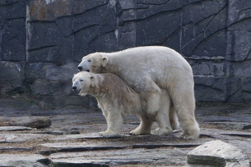 polar bear animal park berlin zoo