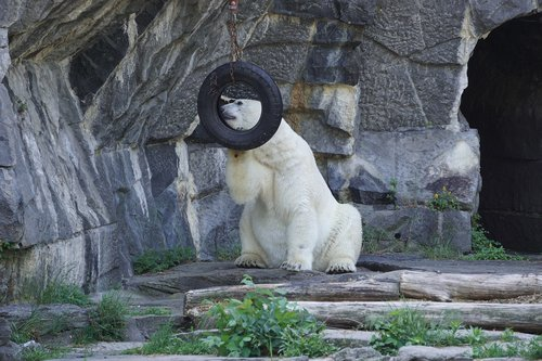 polar bear  animal world  predator