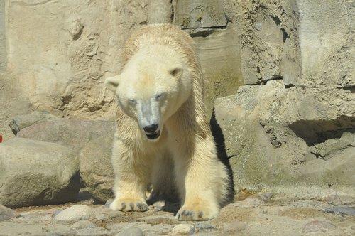 polar bear  zoo  bear