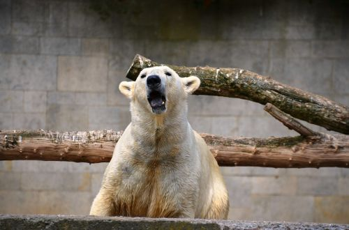 polar bear roar growl