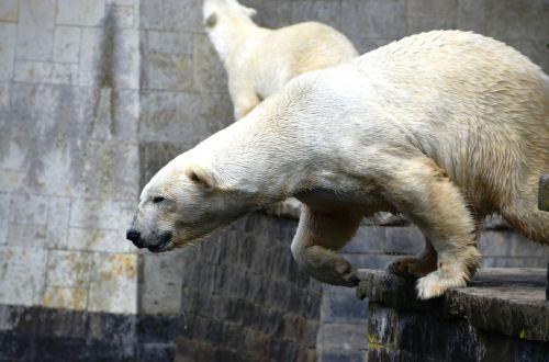 polar bear jump ursus maritimus