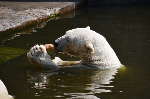 polar bear eat water