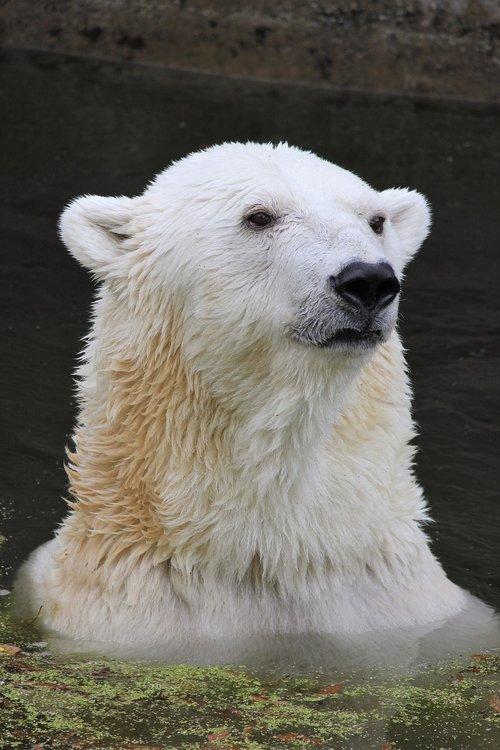 polar bear  climate warming  climate protection