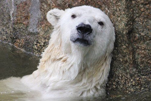 polar bear  climate change  predator