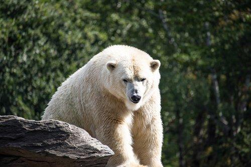 polar bear  predator  animal