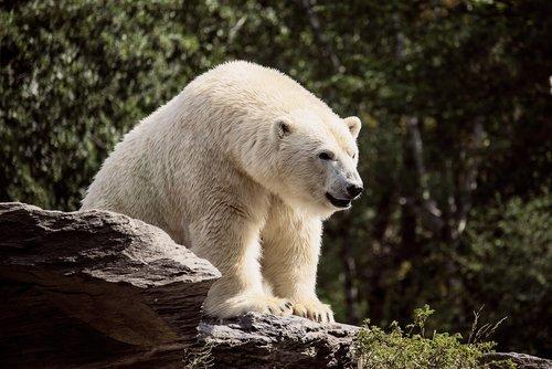 polar bear  predator  mammal