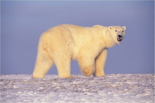 polar bear bear walking