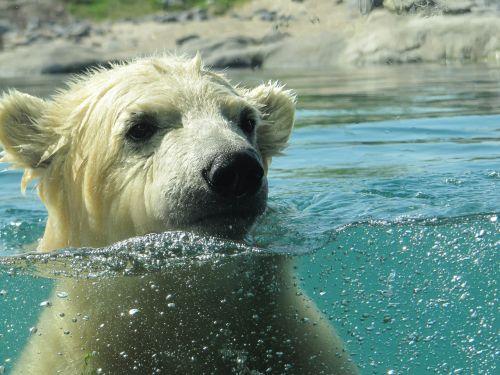 polar bear vicks rotterdam