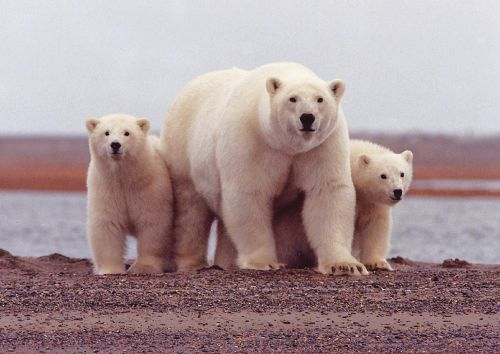polar bear female cubs