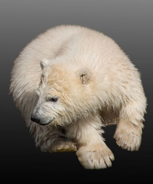 polar bear young animal polar bear cub
