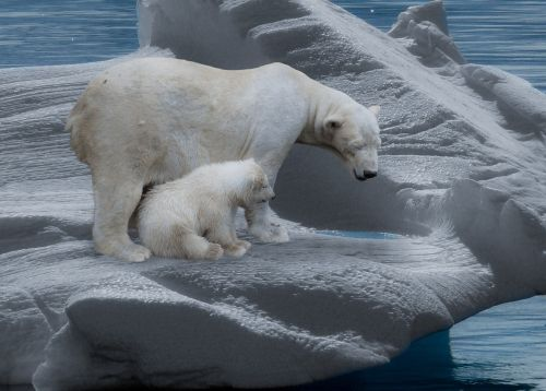 polar bear polar bears predator
