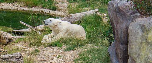 polar bear bear zoo