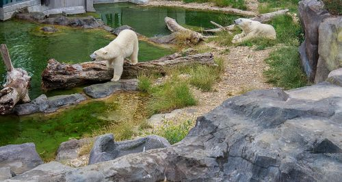polar bear bear zoo
