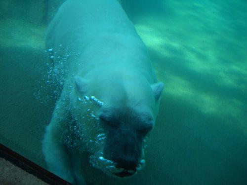 Polar Bear Under Water