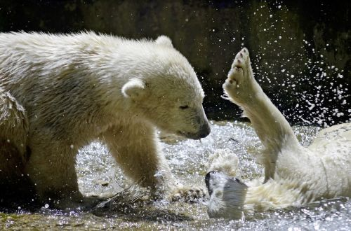 polar bears polar bear children polar