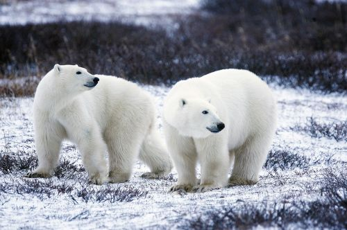 polar bears wildlife snow