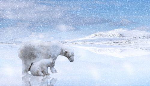polar bears polar bear cub predator