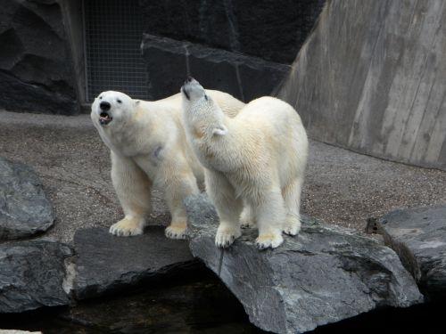 polar bears bear animals