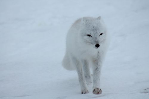 polar fox fox arctic