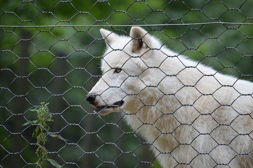 polar wolf  wolf  polar