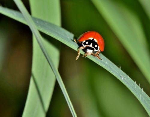 polished lady beetle lady beetle ladybug