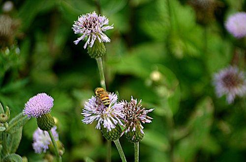 gėlės, gėlė, gyvūnai, bičių, apdulkinimas, apdulkinimas, žiedadulkės, bumble & nbsp, bitė, sezonai, pavasaris, apdulkinimas
