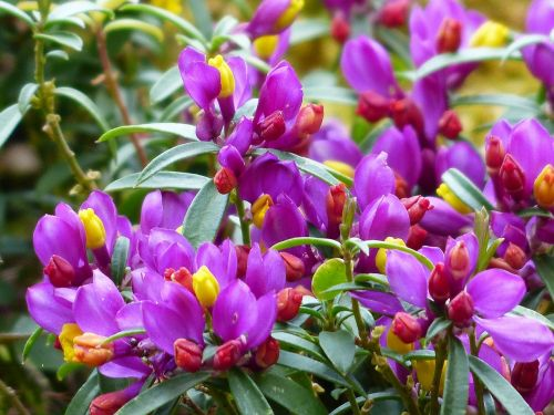 polygala chamaebuxus blossom bloom