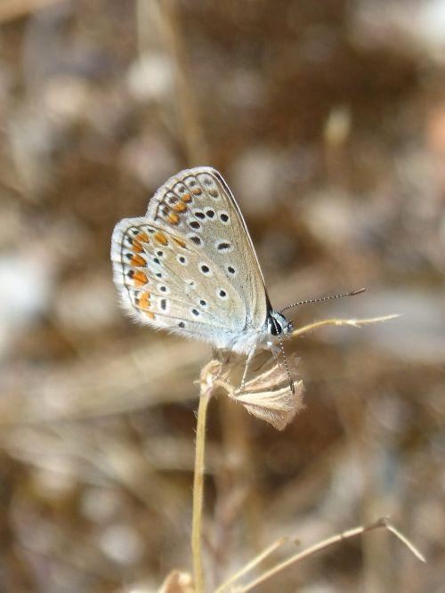 polyommatus icarus blue maiposa blaveta commune