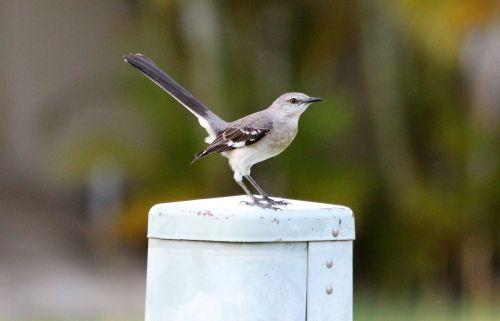 polyphonic mockingbird the north american mockingbird mimus polyglottos
