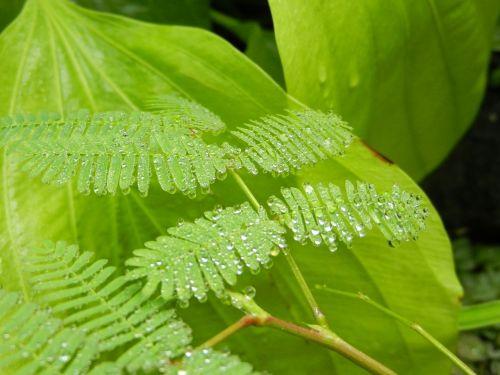 polypody fern foliage