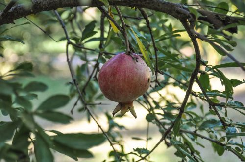 pomegranate fruit red