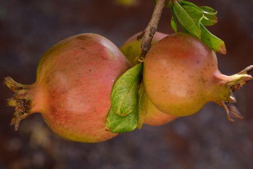 pomegranate ripe pomegranate tree