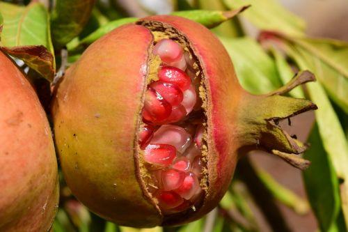 pomegranate pomegranate seeds close