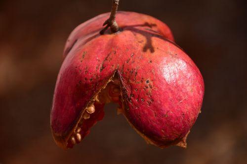 pomegranate autumn red