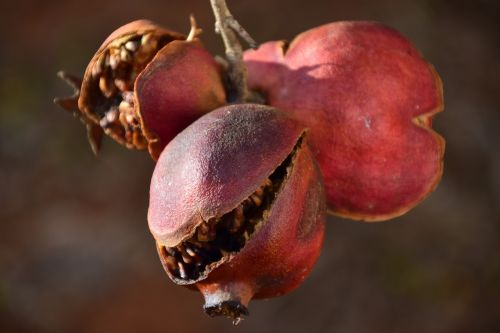 pomegranate old dry