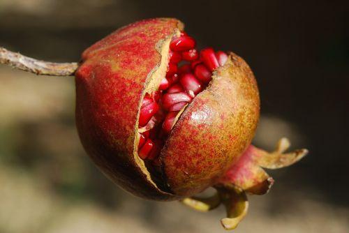 pomegranate fruit flower