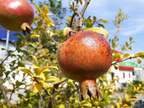 pomegranate pomegranate blossom fruit