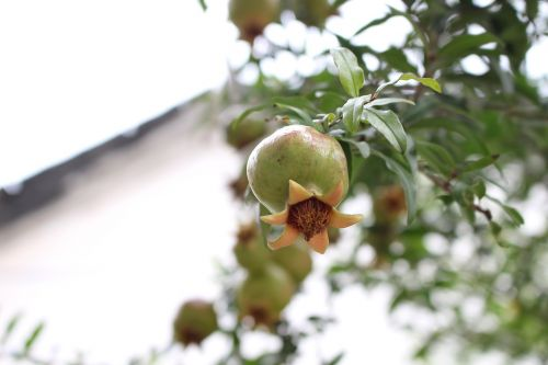 pomegranate the ancient house fruit