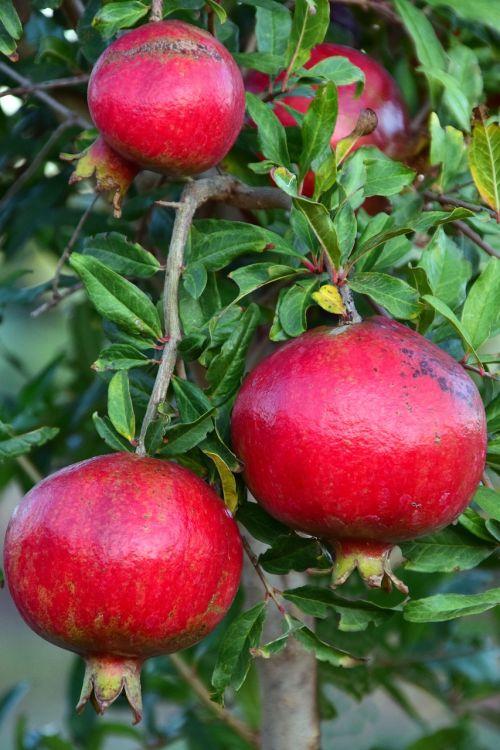 pomegranate pomegranate tree fruits